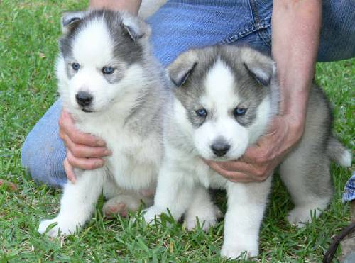 :::::Lovely Blue eyes Siberian husky puppies Text Us