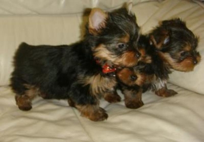 yorkie puppies for free to good home.