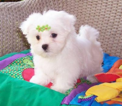Adorable Maltese Puppies For Free Adoption