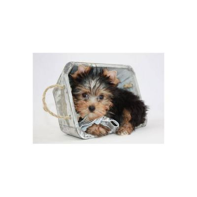 cuet teacup yorkie puppies