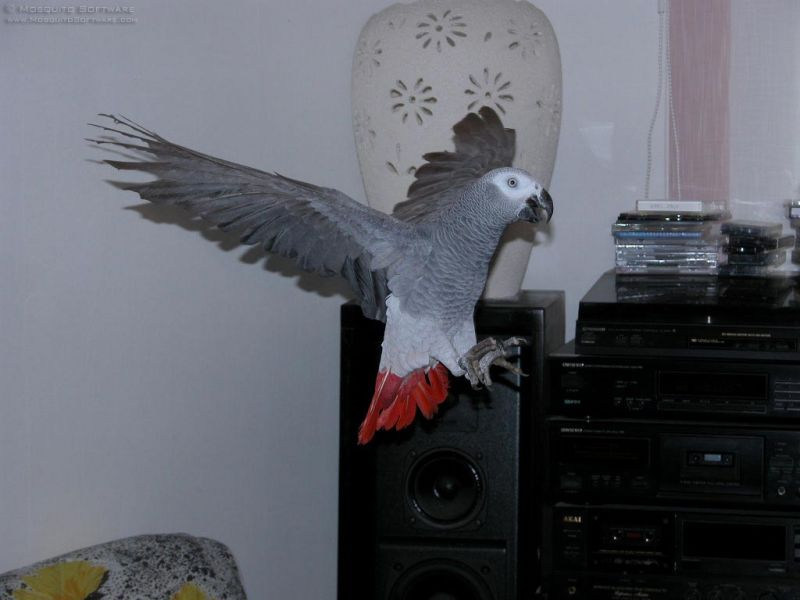 I want to rehome this African Grey parrot
