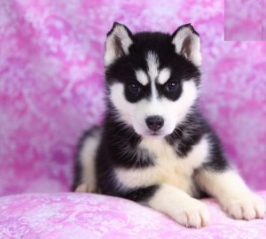 cuty male and female adorable siberian husky puppies for rehoiming