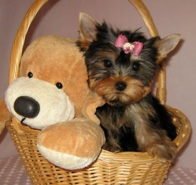 Affectionate male and female teacup yorkie puppies for adoption now