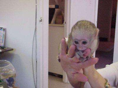 Cute and Adorable capuchin monkeys for free adoption.