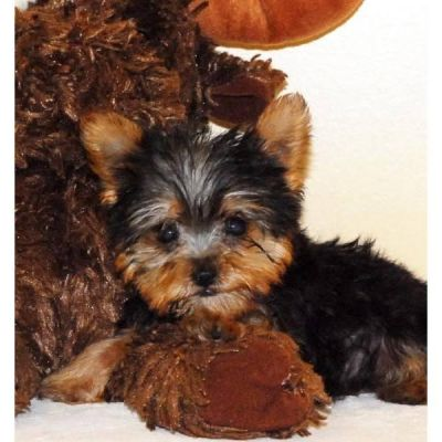 Talented Teacup Yorkie puppies For A New Home