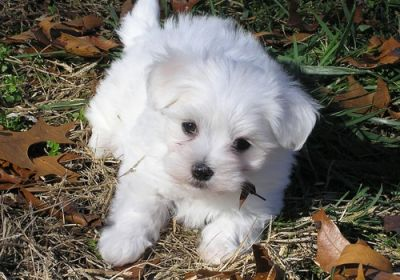 Maltese puppies to give it out for adoption