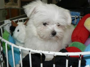 adorable maltese puppies ready for sale now