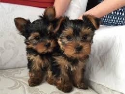 Ready Now Teacup Yorkie Puppies Available For New Hoes Now.
