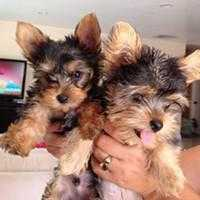 Nice Tea Cup Yorkie Puppies for good and caring homes