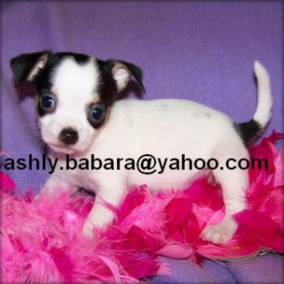 CUTE TEACUP CHIHUAHUA PUPPIES FOR ADOPTION