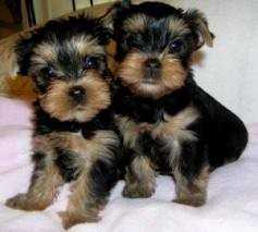2 Yorkie Puppies For Adoption.