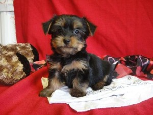 Cute and Adorable Yorkie puppies for adoption (mablebaby63@yahoo.com)