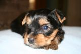 Healthy male and female yorkie puppies for free adoption..(484) 531-2859