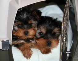Portable Weightless Full Blood Teacup Yorkie Puppies For Free Adoption