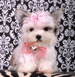 Adorable morkie princess ready for Xmass