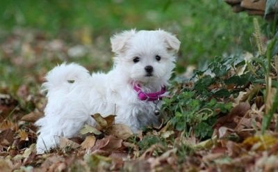 Sweet White Maltese Puppy For Adoption!!!