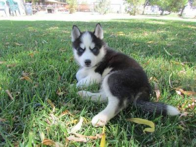 Hand raised Siberian Husky Puppies available for sale