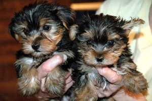 ''Registered Male & Female yorkie Puppies For Adoption''''