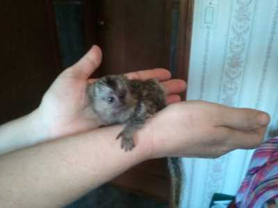 Baby Marmoset and Capuchin monkeys Available