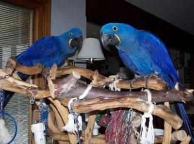 Grey parrots,Macaw parrots and Cockatoos parrots for sale: