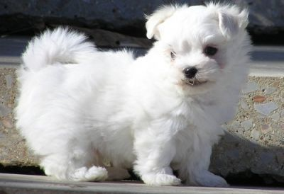 White Maltese puppies