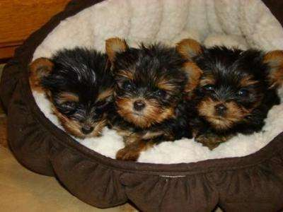 today tea cup yorkie puppies for Free adoption (USA) and Worldwide