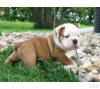 understanding Male and Female English bulldog puppies for adoption