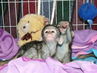 Twin baby capuchin monkeys for adoption