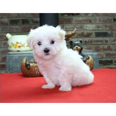 Teacup Maltese Puppies For Re-homing