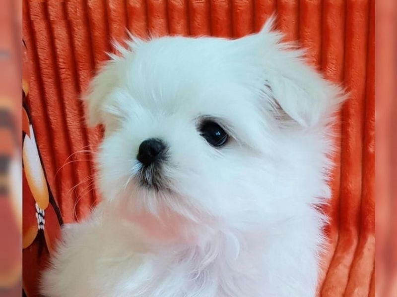 Outstanding Maltese Puppies for RehomingCall or Text(775) 296-4622
