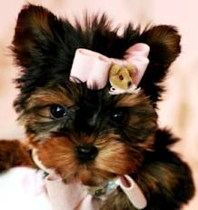 Sweet Yorkie Puppies Available Come Pick Yours Today