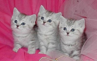 Playful Christmas British Shorthair  Kittens