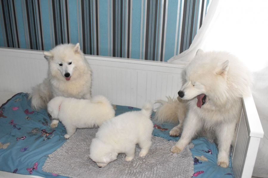 Pure samoyed puppies