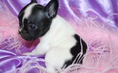 french bulldog pups black and white available for sale