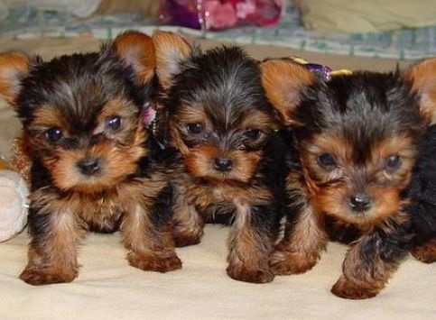 Adorable Teacup Yorkshire  Puppies