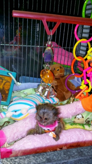 Adorable Marmoset monkey available