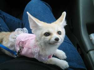 Tica registered fennec fox,kinkajou and spotted Genet for sale
