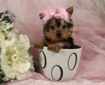 Amazing Male And Female Teacup Yorkie Puppies For Adoption