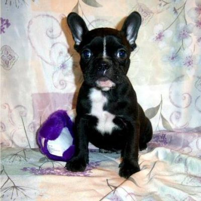 X-MAS French Bulldog puppies for sale