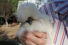 Chicks! Bearded Bantam Silkie Chicks Available Year-Round Price starts at $15.00