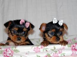 cute and adorable home trained tea cup yorkie puppies now available for Xmas