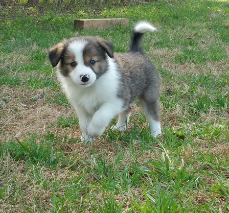 AKC Soft Looking Border Collie Puppies For Sale