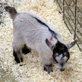 Kids! RARE African Pygmy Goat Kids – Ship Nationwide and Internationally