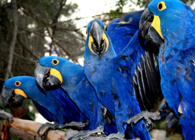 playful blue and gold macaw for sale