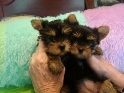 Adorable Yorkie puppies for adoption..