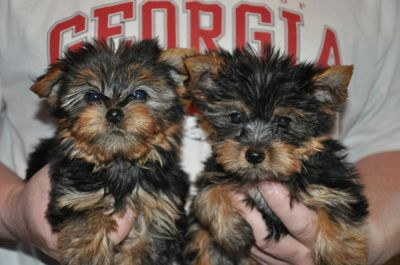 Free Yorkie Puppies for good Homes