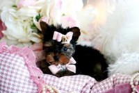 Playful and lovely yorkie puppies for your home 302-365-0753