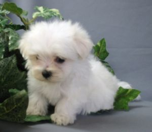 Gorgeous Teacup maltese Puppies for X-Mass (jessicacruser50@yahoo.com)