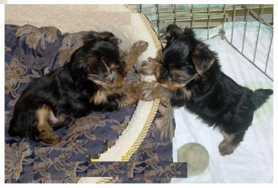 Nice Tea Cup Yorkie Puppies For Free Adoption