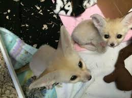Males and females fennec foxes available.. (240)367-9647